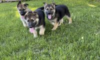 German Shepherd Puppies for sale in Milaca, MN 56353, USA. price: NA