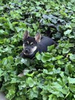 German Shepherd Puppies for sale in Sacramento, CA, USA. price: NA