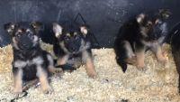 German Shepherd Puppies for sale in Elk Grove Village, IL 60007, USA. price: NA