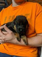German Shepherd Puppies for sale in Ayden, NC 28513, USA. price: NA