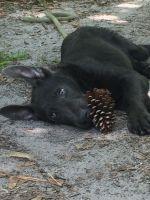 German Shepherd Puppies for sale in Geneva, FL 32732, USA. price: NA