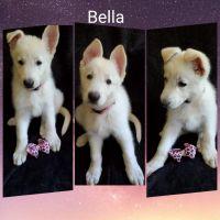 German Shepherd Puppies for sale in Jeddo, MI 48032, USA. price: NA