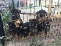 German Shepherd Puppies Photos