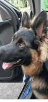 German Shepherd Puppies for sale in Logansport, IN 46947, USA. price: NA