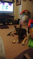 German Shepherd Puppies for sale in Levittown, PA, USA. price: NA
