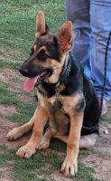 German Shepherd Puppies for sale in Odessa, TX, USA. price: NA