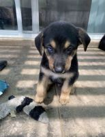 German Shepherd Puppies for sale in Moreno Valley, CA 92551, USA. price: NA