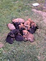 German Shepherd Puppies for sale in Springfield, OH, USA. price: NA