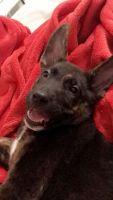 German Shepherd Puppies for sale in Peoria, AZ, USA. price: NA