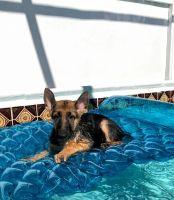 German Shepherd Puppies for sale in Sunrise, FL, USA. price: NA