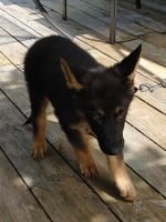 German Shepherd Puppies for sale in Farmersville, TX 75442, USA. price: NA