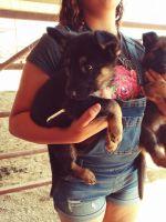 German Shepherd Puppies for sale in Buckeye, AZ, USA. price: NA