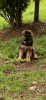 German Shepherd Puppies for sale in Puyallup, WA, USA. price: NA