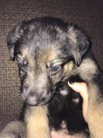 German Shepherd Puppies for sale in North Judson, IN 46366, USA. price: NA