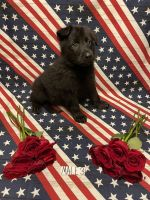German Shepherd Puppies for sale in Springfield, MO, USA. price: NA