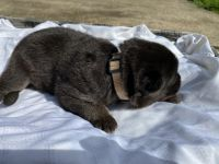 German Shepherd Puppies for sale in Concord, NC, USA. price: NA