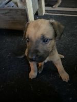 German Shepherd Puppies for sale in Cabot, AR, USA. price: NA