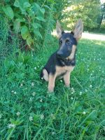 German Shepherd Puppies for sale in Lawrenceburg, TN, USA. price: NA