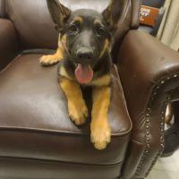 German Shepherd Puppies for sale in Bakersfield, CA, USA. price: NA
