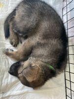 German Shepherd Puppies for sale in Greensboro, NC, USA. price: NA