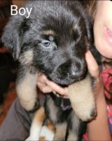 German Shepherd Puppies for sale in Searcy, AR, USA. price: NA