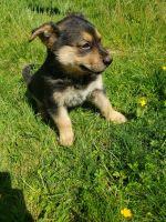 German Shepherd Puppies for sale in Lake Stevens, WA 98258, USA. price: NA
