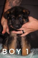 German Shepherd Puppies for sale in Noblesville, IN, USA. price: NA