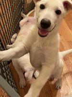 German Shepherd Puppies for sale in Tulsa, OK, USA. price: NA