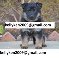 German Shepherd Puppies for sale in NM-528, Albuquerque, NM, USA. price: NA