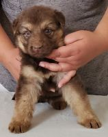 German Shepherd Puppies for sale in Winnemucca, NV 89445, USA. price: NA