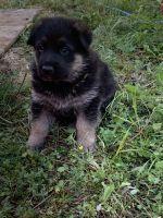 German Shepherd Puppies for sale in Spokane, WA, USA. price: NA