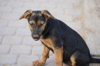 German Shepherd Puppies for sale in Maricopa, AZ 85138, USA. price: NA