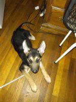 German Shepherd Puppies for sale in Newport News, VA, USA. price: NA