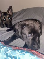 German Shepherd Puppies for sale in Tampa, FL, USA. price: NA