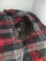 German Shepherd Puppies for sale in Morganton, NC 28655, USA. price: NA