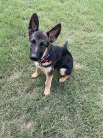 German Shepherd Puppies for sale in North Little Rock, AR, USA. price: NA