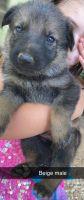 German Shepherd Puppies for sale in Glenmora, LA 71433, USA. price: NA