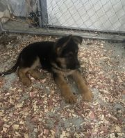German Shepherd Puppies for sale in Avon, IN, USA. price: NA