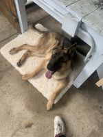 German Shepherd Puppies for sale in Florissant, MO 63031, USA. price: NA