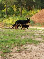 German Shepherd Puppies for sale in Tyler, TX, USA. price: NA