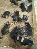 German Shepherd Puppies for sale in Fresno, CA, USA. price: NA