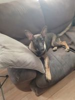 German Shepherd Puppies for sale in Lyons, IN 47443, USA. price: NA