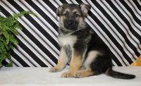 German Shepherd Puppies for sale in 3926 Eastland Lake Dr, Richmond, TX 77406, USA. price: NA