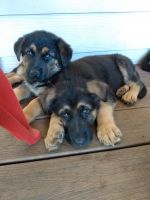 German Shepherd Puppies for sale in Yelm Hwy SE, Olympia, WA, USA. price: NA