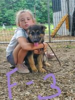 German Shepherd Puppies for sale in Stillwater, PA 17878, USA. price: NA