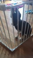 German Shepherd Puppies for sale in Spanaway, WA, USA. price: NA