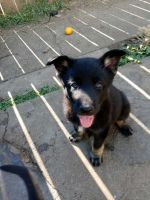 German Shepherd Puppies for sale in Vallejo, CA, USA. price: NA