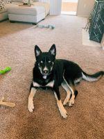 German Shepherd Puppies for sale in Scottsdale, AZ, USA. price: NA