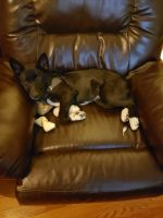 German Shepherd Puppies for sale in Crawfordsville, IN 47933, USA. price: NA