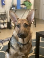 German Shepherd Puppies for sale in Pensacola, FL, USA. price: NA